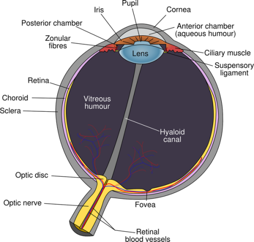 how-eyes-work-diagram-of-the-eye